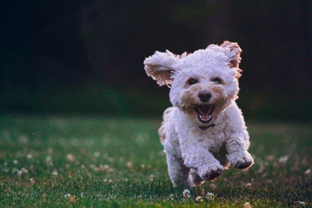 こちらに向かって走ってくる犬